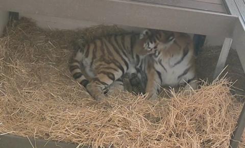 Vídeo: Após 100 dias, tigre ameaçado de extinção dá à luz no Toronto Zoo