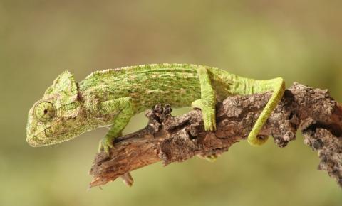 Projeto lançado no Algarve quer salvar camaleão da extinção