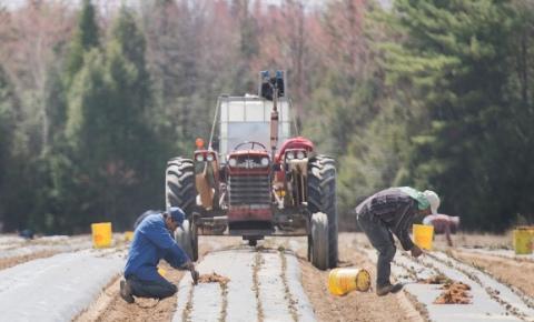 Imigrantes em risco no trabalho agrícola em Ontário com o avanço da pandemia da Covid-19